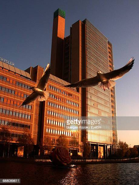 Doves Flying Over River By Buildings Against Clear Sky During Sunset