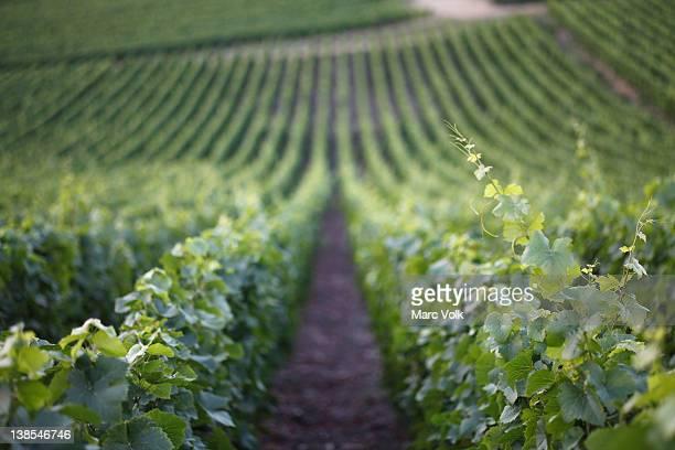 Downhill vineyard