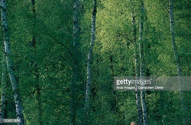 Downy Birches, national park Muritz, Mecklenburg-Western Pommerania, Germany (Betula pubescens)