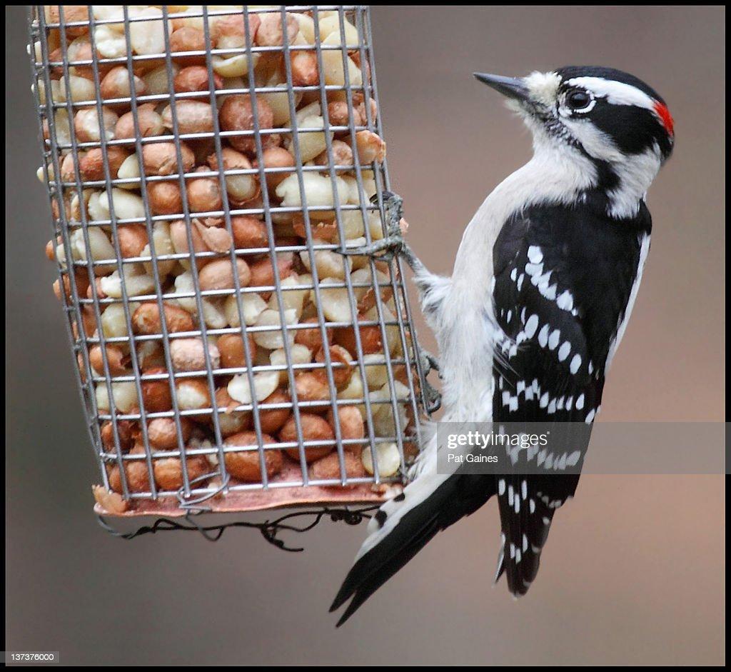 Downy woodpecker at peanut feeder : Stock Photo