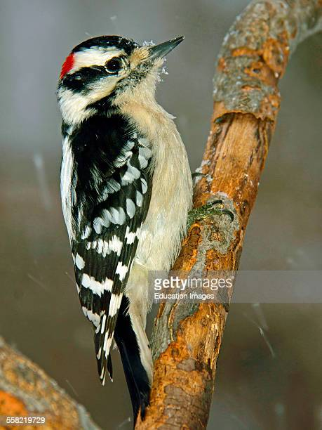 Downy Woodpecker Male in Snow Animal Portrait