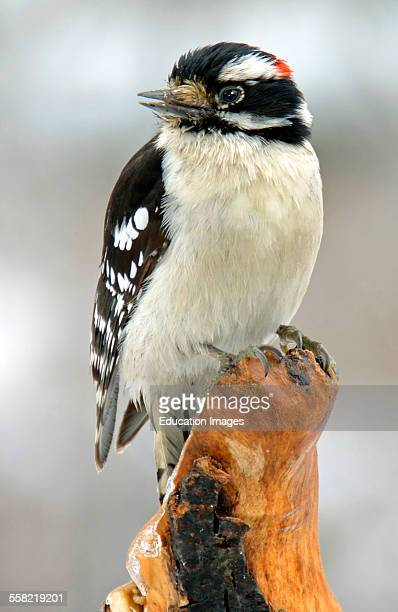 Downy Woodpecker Male on Tree Stump