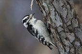 Female Downy Woodpecker in winter