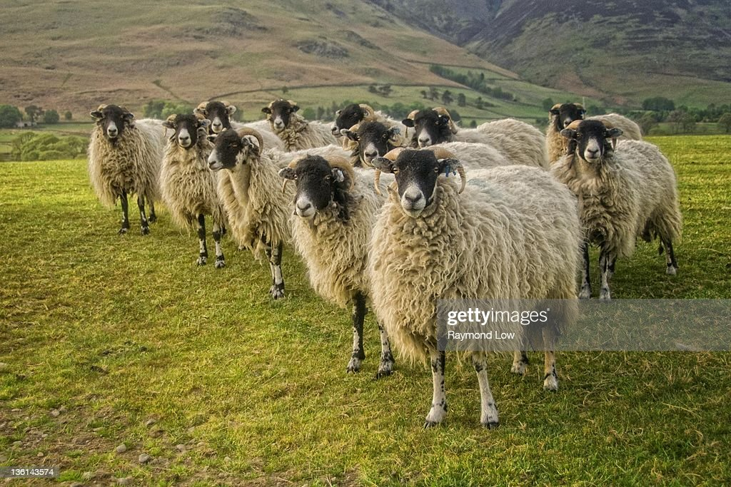 Dozen curious sheep : Stock Photo