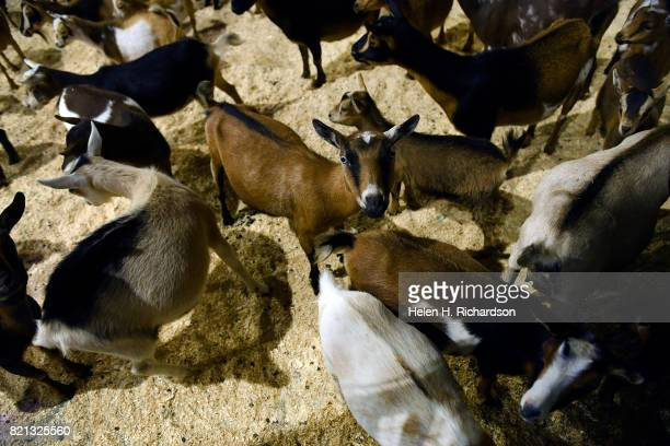 Dozens of goats get ready to be released onto the yoga floor for a class of goat yoga at the Denver County Fair on July 23 2017 in Denver Colorado...