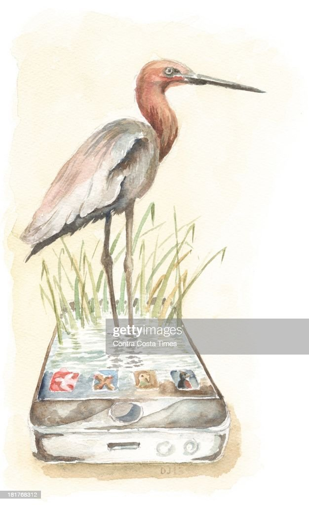 USA - 2013 300 dpi Dave Johnson illustration of heron standing on a smartphone; can be used with stories about birding apps.