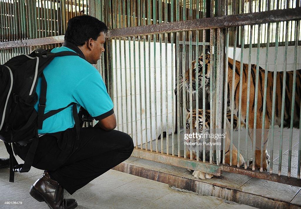 Dr Kevin Lazarus observes Sumatran Tigers at Surabaya Zoo on May 13 2014 in Surabaya Indonesia South East Asian Zoos Association delegates and animal...