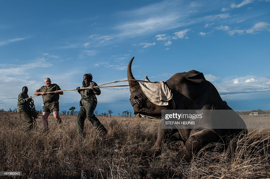 Dr Marius Kruger and member of the Kruger National Park keeps the head of a rhino up during a white rhino relocation capture on October 17 2014 The...
