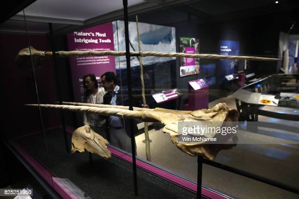 Dr Martin Nweeia and Pamela Peeters view narwhal tusks during a preview of the Smithsonian's National Museum of Natural History's new exhibit titled...