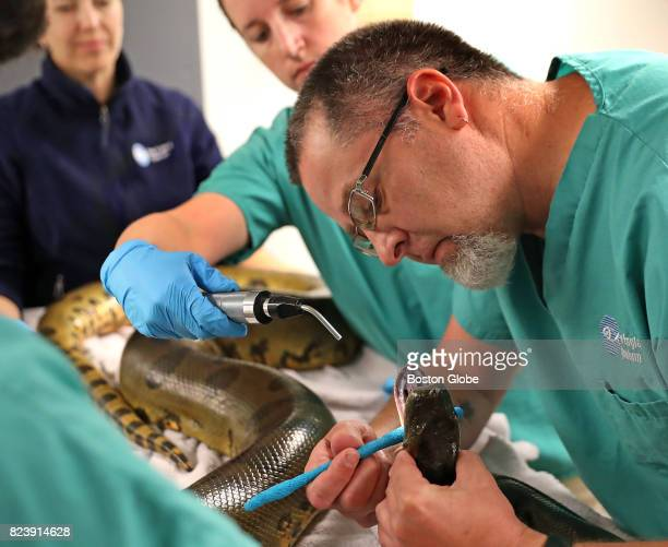 Dr Mike Corcoran right looks over Wilson a female anaconda during an annual physical at the New England Aquarium in Boston July 27 2017