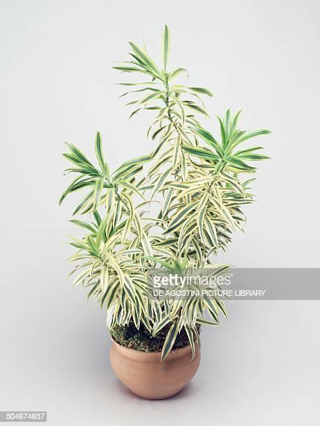 Dracaena Asparagaceae