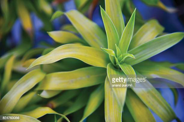 Dracaena reflexa - Song of India, Pleomele, Reflexed Dracaena (variegated leaves)