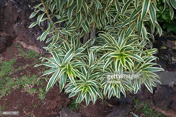 Dracaena Song Of India plant
