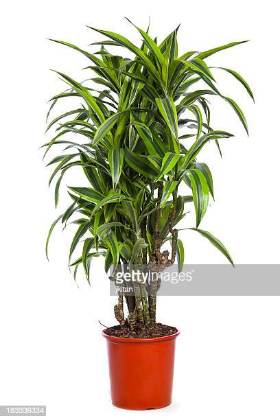 Dracena Lemon-Lime