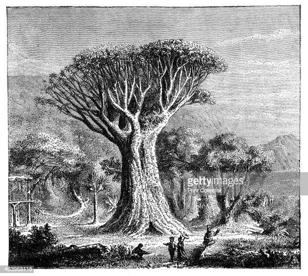 Dracona of Icod Tenerife Spain c1900s From The Universal Geography with Illustrations and Maps division XXII written by Elisee Reclus and published...
