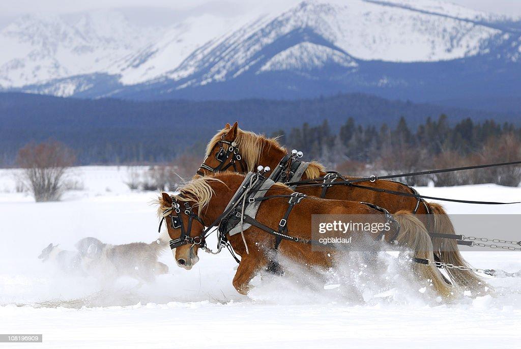 Draft Horses Working Hard Together