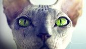 Dragon Cat's Green Eyes