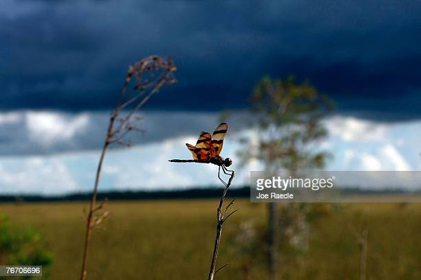 A dragon fly hangs onto a stick in the Florida Everglades September 12 2007 in the Everglades National Park Florida Senator Bill Nelson recently...