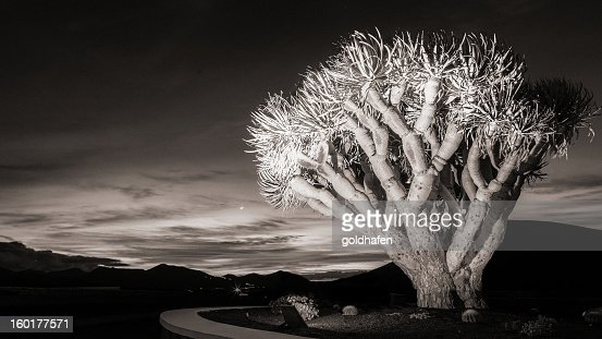 dragon tree at sunset : Stock Photo