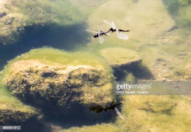 Dragonflies Flying Over Pond
