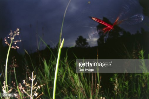 Dragonflies in flight at sunset : Stock Photo