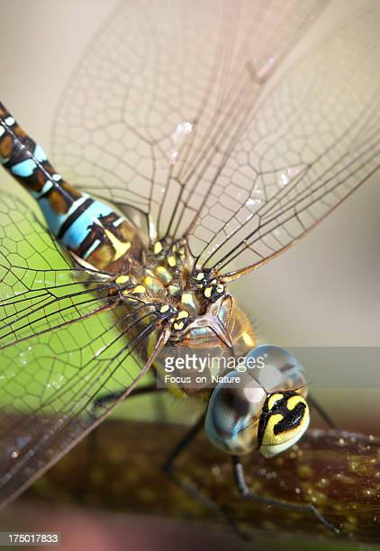 Dragonfly (Aeshna mixta) close-up