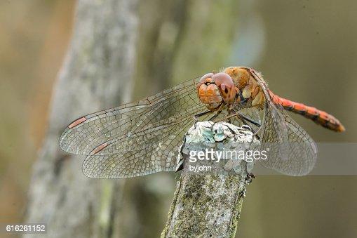 Dragonfly, Common Darter, Sympetrum striolatum on Lichen Topped Post. Macro : Stock Photo
