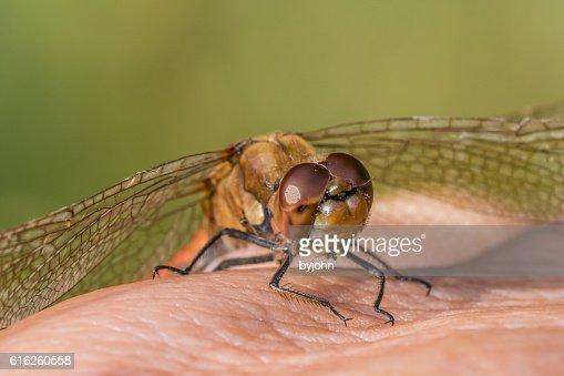Dragonfly, Common Darter, Sympetrum striolatum on Photographer's Hand.  Macro : Foto de stock