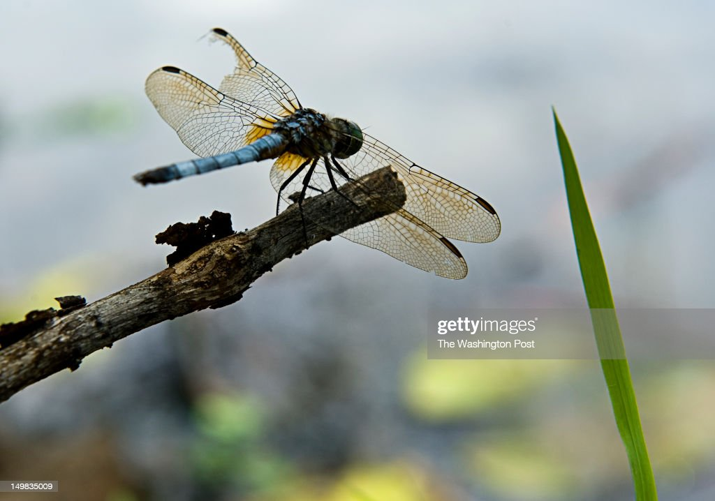 A dragonfly finds a good place to alight at Kenilworth Aquatic Gardens Sunday July 17, 2012 in Washington, DC.