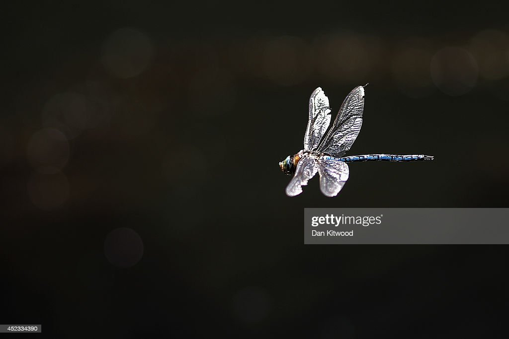A dragonfly hovers above the water on the Regent's Canal on July 18 2014 in London England The Met Office has issued a heatwave alert as temperatures...