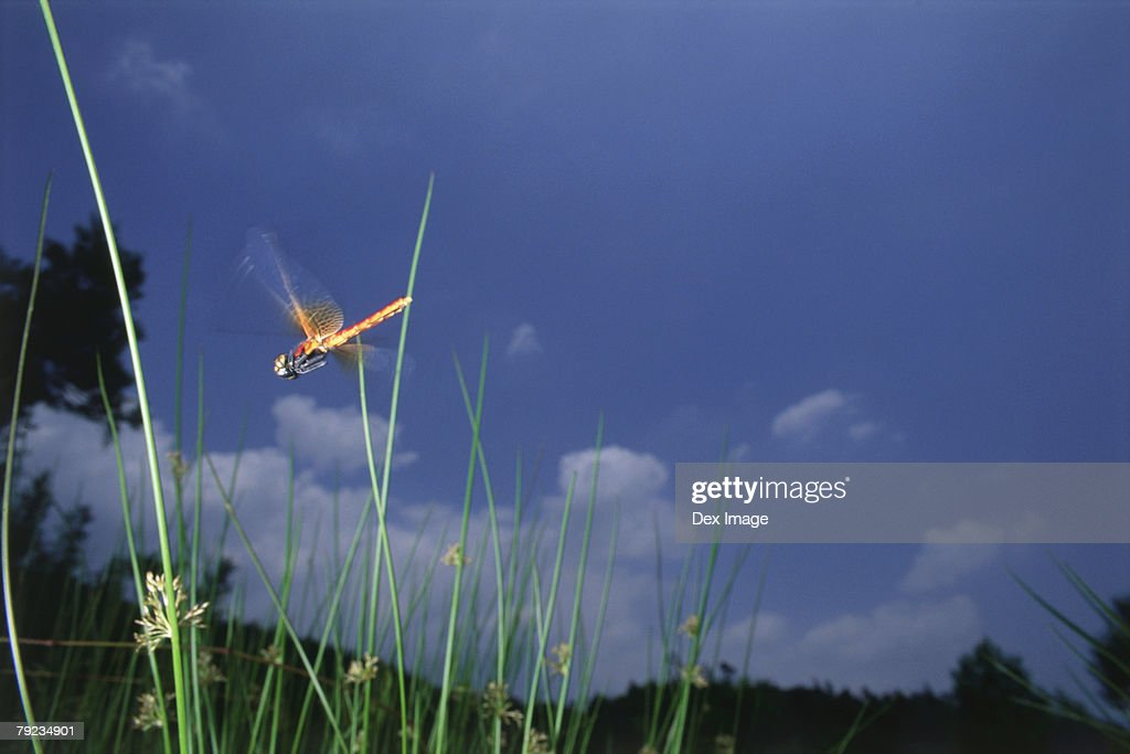 Dragonfly in flight among grass : Stock Photo