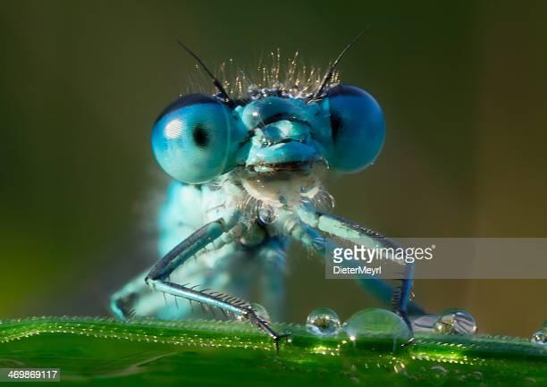 Libelle im morning dew