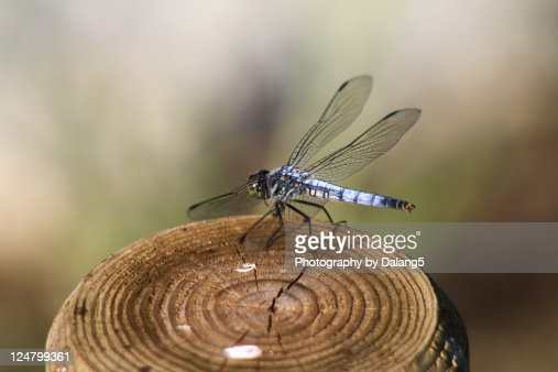 Dragonfly insect : Stock Photo