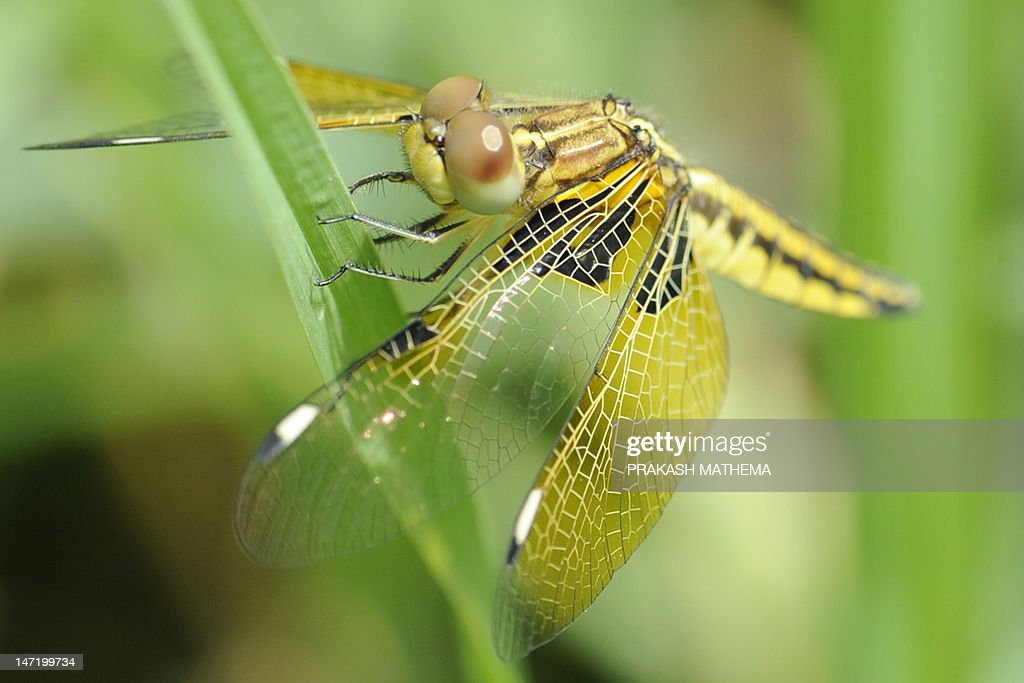 A dragonfly is pictured at a garden in Kathmandu on June 27, 2012. AFP PHOTO/Prakash MATHEMA