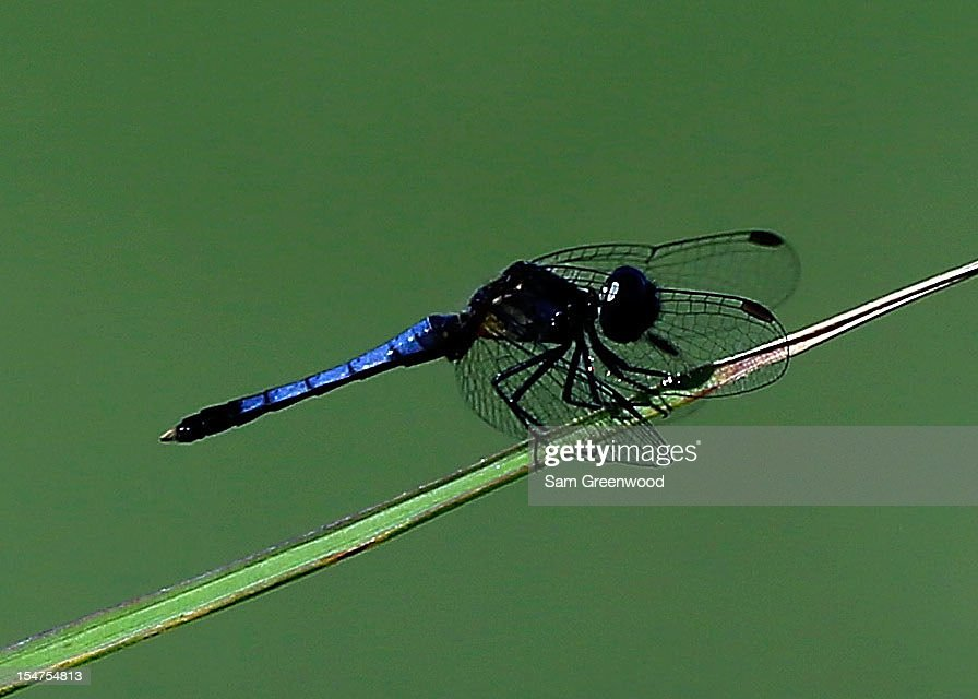 A dragonfly is seen during the second round of The McGladrey Classic at Sea Island's Seaside Course on October 19, 2012 in Sea Island, Georgia.