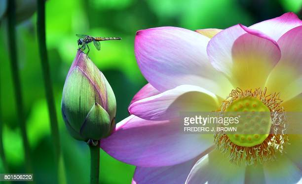 TOPSHOT A dragonfly lands atop an unopened Lotus flower beside an opened one as Lotis flowers near full bloom at Echo Park lake amid an ongoing...