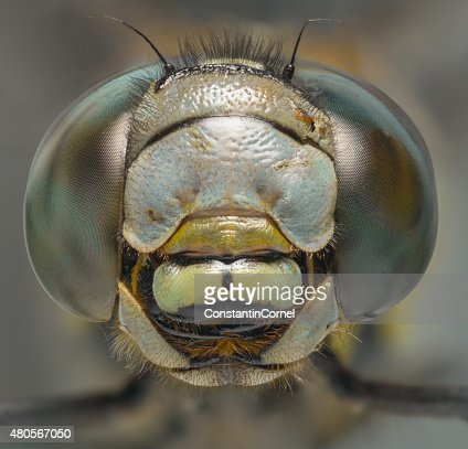 Dragonfly macro head shot front view : Stock Photo