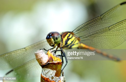 dragonfly on a branch : Stock Photo