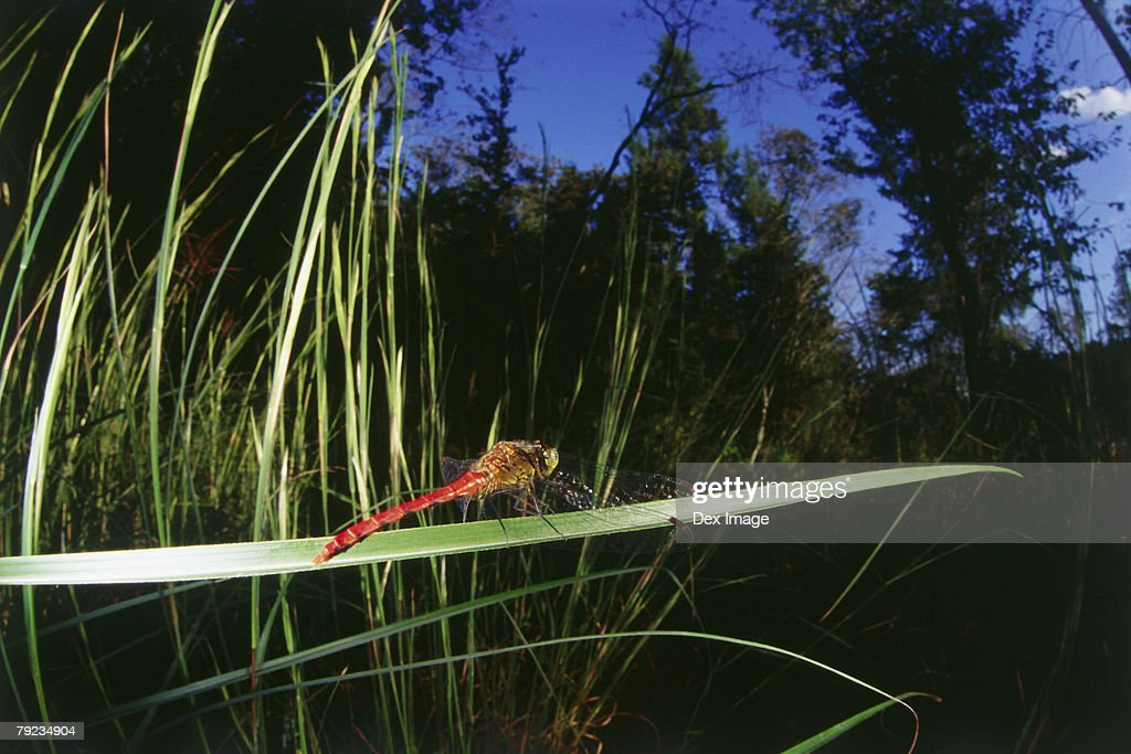Dragonfly on leaf : Stock Photo