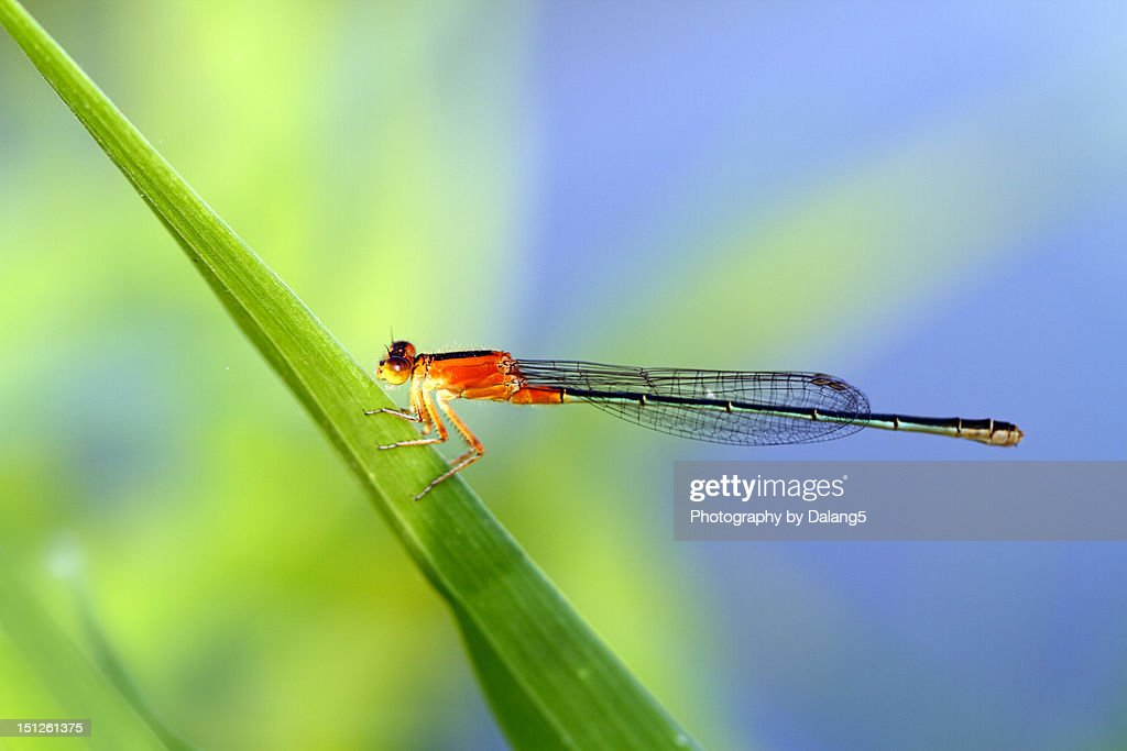 Dragonfly perched on leaf : Stock Photo