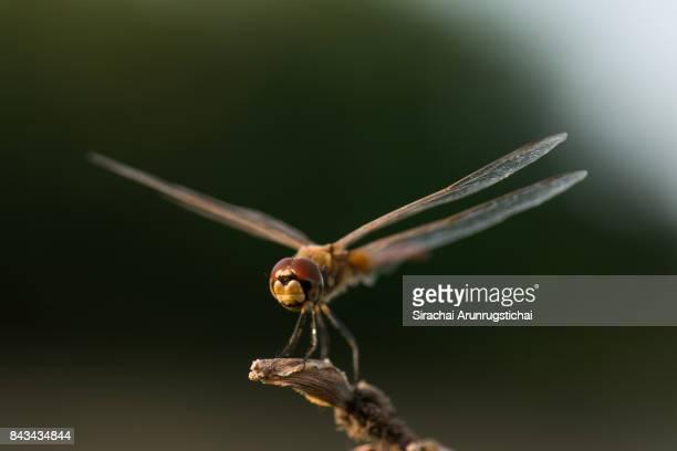 Dragonfly perches on a twig