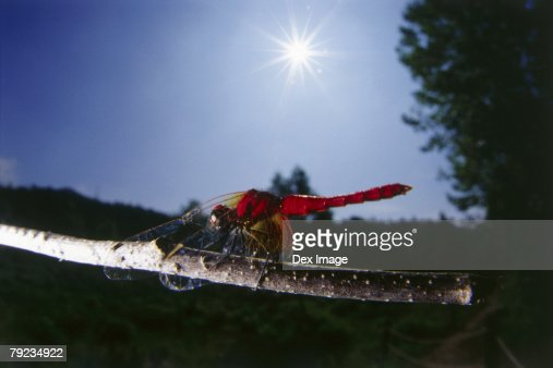 Dragonfly perching on branch, close up : Stock Photo