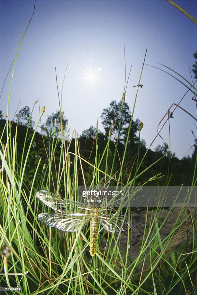 Dragonfly perching on grass, close up : Stock Photo