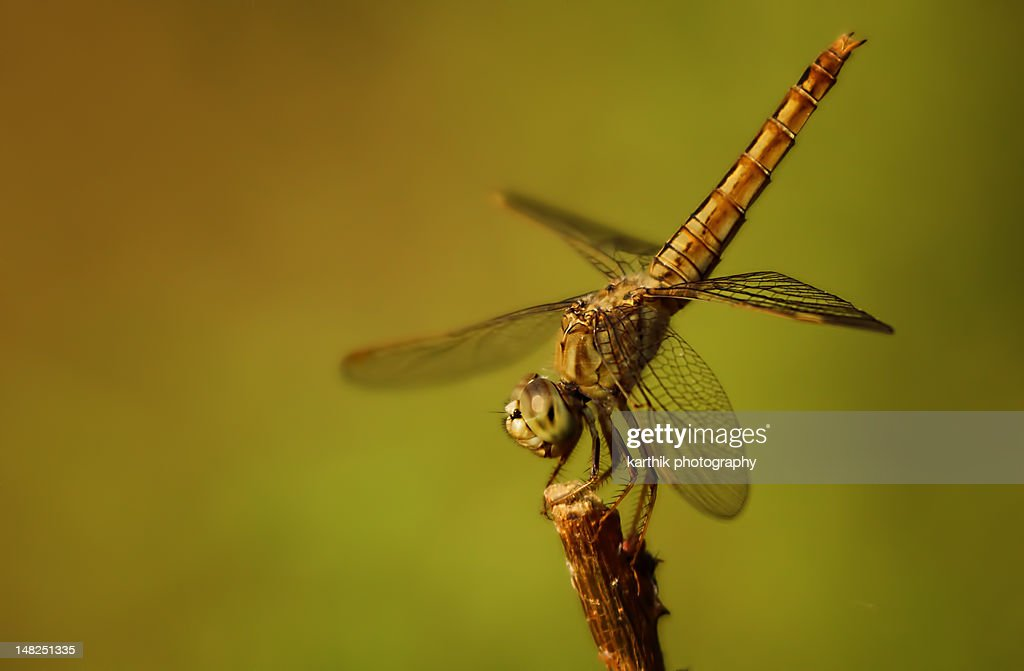 Dragonfly resting : Stock Photo