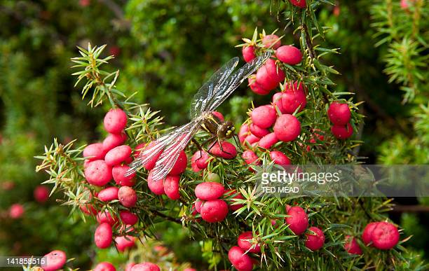 A Dragonfly rests on an endemic Mountain Berry Bush ( Cyathodes parvifolia ) in the Central Highlands of Tasmania, Australia