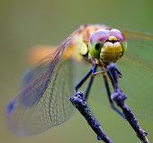 Dragonfly, Richmond Park, London