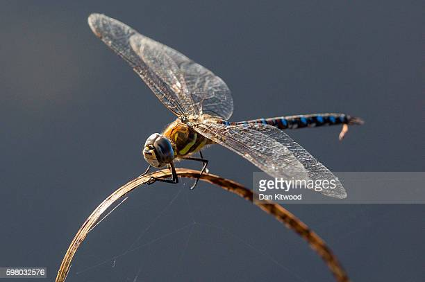 Dragonfly sits in reedbeds on the Isle of Grain on August 31 2016 in Isle of Grain England The Isle of Grain is the easternmost point of the Hoo...