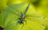 A dragonfly sits on a leaf in Frankfurt Oder eastern Germany on August 25 2013 AFP PHOTO /DPA/ PATRICK PLEUL GERMANY OUT
