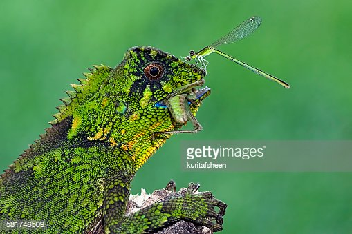 Dragonfly sitting on the nose of a feeding chameleon