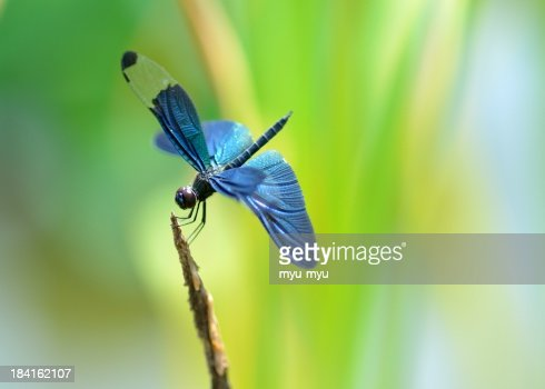 Dragonfly with blue wings